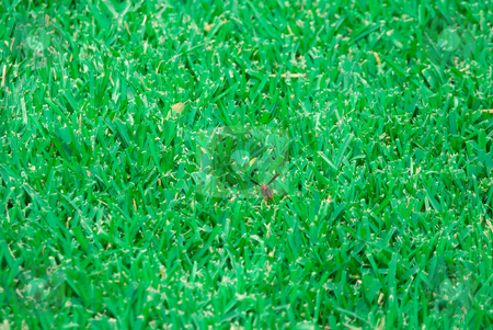 Bee In Grass stock photo, A bee in the middle of lush St. Augustine grass. by Tammy Abrego