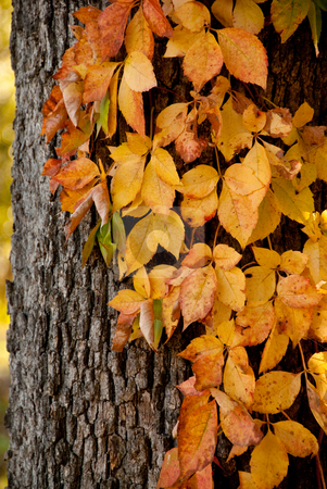Autumn Vines stock photo,  by Tammy Abrego