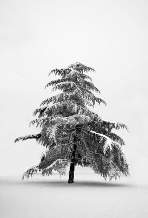 Lonely pine tree stock photo, Lonely pine tree totally covered with snow by Fabio Alcini