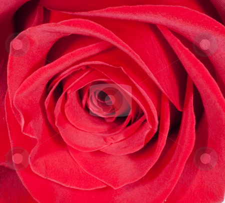 Red rose stock photo, Strict close up of a red rose by Fabio Alcini