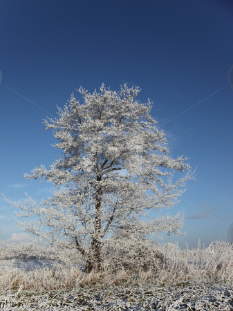 Frosted tree stock photo, A frozen tree on a cold winters day under a blue sky by Mike Smith