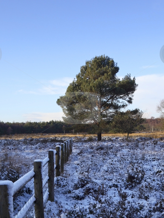 Winter pine 2 stock photo, A scots pine tree and a wooden fence on a snowy winters day by Mike Smith