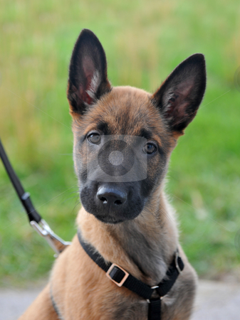 Puppy malinois stock photo, Portrait of a young puppy purebred belgian shepherd malinois with harness by Bonzami Emmanuelle