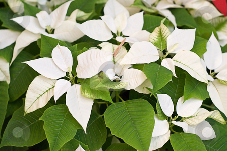 Poinsettia stock photo, Closeup view of a white poinsettia with green leaves by Richard Nelson