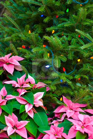 Poinsettia Frame stock photo, A poinsettia used to frame a christmas tree by Richard Nelson