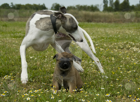 Greyhound and puppy shepherd stock photo, Playing greyhound and puppy purebred belgian shepherd malinois by Bonzami Emmanuelle