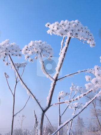 Snow covered dry flower stock photo, Closeup of snow covered dry flower in the background of sky by Olga Lipatova