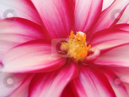 Dahlia stock photo, Dahlia by Karin Eichinger