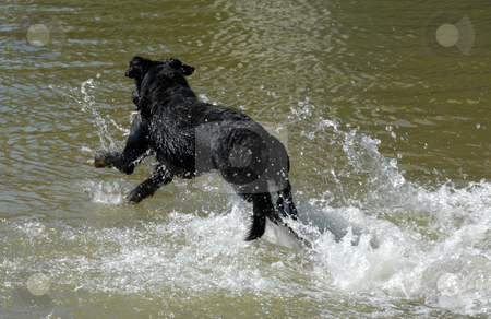 Swimming french shepherd stock photo, Swimming  purebred french shepherd