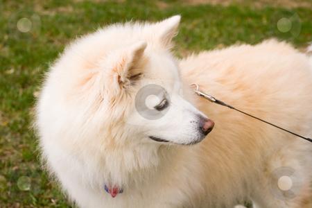 Alaskan Dog stock photo, White mixed breed Alaskan dog on a leash by Darryl Brooks