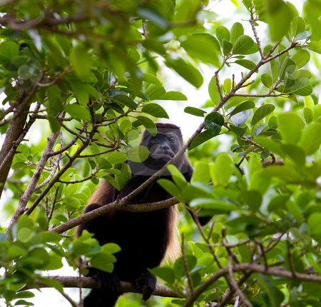 Howler Monkey Eating in Trees stock photo, A howler monkey eating fresh leaves in a tree by Darryl Brooks