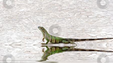 Iguana on Edge of Pool stock photo, A green iguana crawling along the edge of a pool by Darryl Brooks