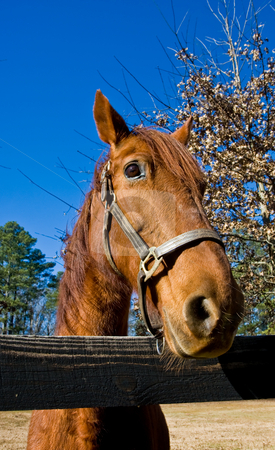 Horse at Rail Fence stock photo, A brown horse looking over a split rail fence by Darryl Brooks