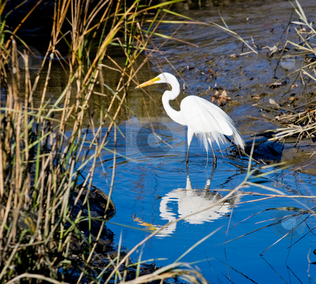 White Egret Standing in Blue stock photo, A white egret in a wetlands marsh by Darryl Brooks