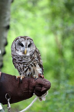 Barn Owl stock photo, A barn owl sitting on the arm of a handler by Darryl Brooks