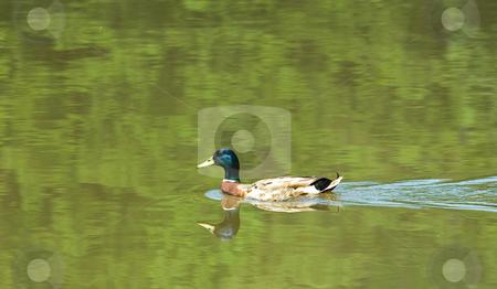 Mallard on Green Water stock photo, A male mallard swimming across a dark green lake by Darryl Brooks