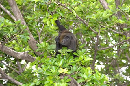 Monkey Looking stock photo, A howler monkey looking up in a tree by Darryl Brooks