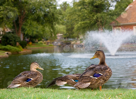 Ducks by Lake Fountain stock photo, Ducks by a lake with a fountain by Darryl Brooks