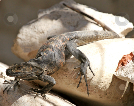 Black Iguana stock photo, Closeup of A black iguana sunning on some rocks by Darryl Brooks
