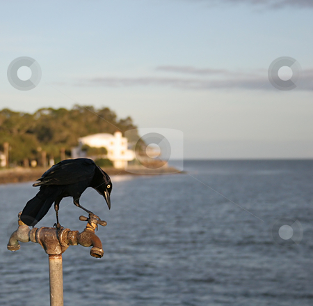 Turning on water stock photo, Black coastal bird turning on water faucet by Darryl Brooks