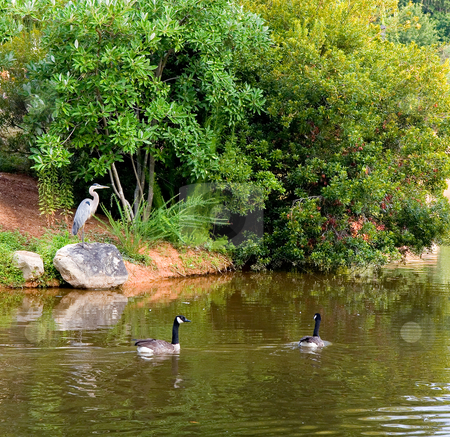 Heron and Geese stock photo, A blue heron on a rock by a lake full of geese by Darryl Brooks