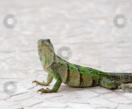 Iguana Looking at Camera stock photo, An green iguana on tile looking at the camera by Darryl Brooks