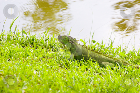 Green Iguana in Grass by Lake stock photo, A green iguana on green grass by a lake by Darryl Brooks