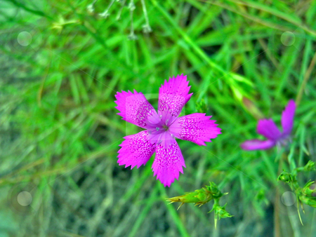 Wood violet wild flower  stock photo, Wood violet wild flower on a background of a grass by Vadim Tsyba