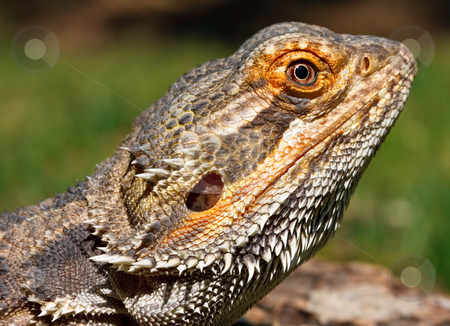 Bearded Dragon stock photo, Closeup of a bearded dragon with very sharp focus on the eye by Stephen Bonk