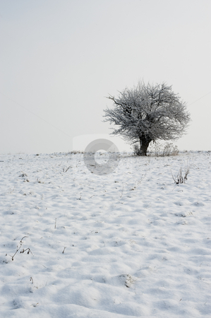 Tree on winter horizon stock photo, Tree covered with snow on horizon in winter meadows by Juraj Kovacik