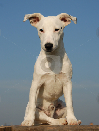 Pup jack russel terrier stock photo, Portrait of a puppy purebred jack russel terrier by Bonzami Emmanuelle