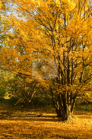 Yellow autumn stock photo, Tree with bright yellow leaves in the autumn by Jan Turcan