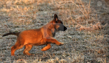 Running puppy stock photo, Young puppy purebred belgian shepherd malinois running in a field in winter by Bonzami Emmanuelle