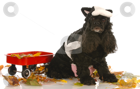 Cocker spaniel dressed up for halloween stock photo, American cocker spaniel dressed up as a cow in autumn setting by John McAllister