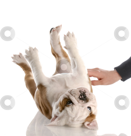 Scratching a puppies tummy stock photo, English bulldog puppy getting a tummy rub by John McAllister