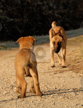 Puppy waiting his mother stock photo, Young puppy belgian shepherd waiting his mother by Bonzami Emmanuelle