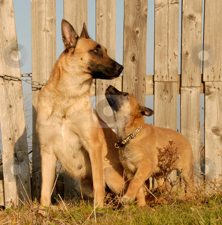 Mother and puppy dogs stock photo, Puppy and mother purebred belgian shepherd malinois by Bonzami Emmanuelle