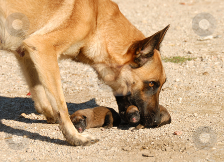 Mother Dog And Puppies Stock Photo