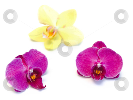 Orchids stock photo, Beautiful three orchids against the white background by Sergej Razvodovskij