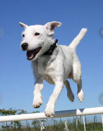 Jumping jack russel terrier stock photo, Jumping jack russel terrier by Bonzami Emmanuelle