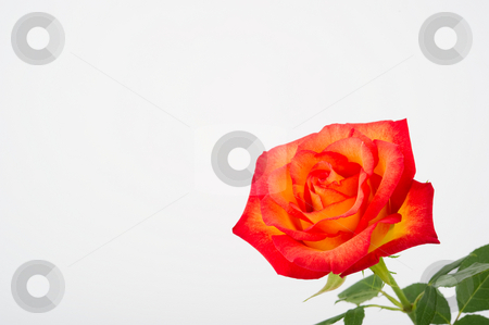Close Up of a Beautiful Sunset Rose stock photo, Close up image of a beautiful sunsest rose with leaves by Greg Blomberg