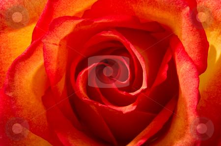 Close Up of a Beautiful Sunset Rose stock photo, Close up image of a beautiful sunsest rose by Greg Blomberg