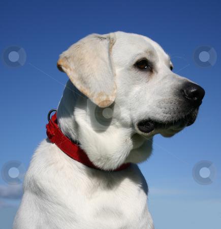 Labrador retriever stock photo, Portrait of a purebred labrador retriver by Bonzami Emmanuelle