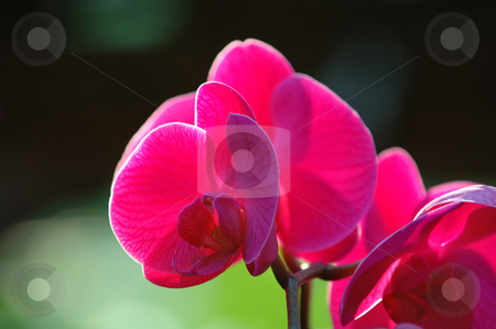Pink orchid stock photo, A close up shot of pink orchid by Tito Wong