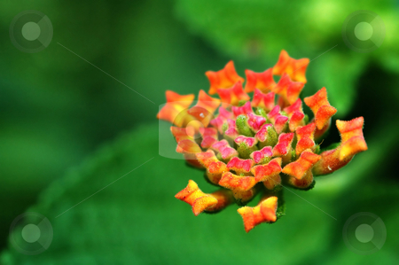 Lantana camara stock photo, A close up shoot of lantana camara by Tito Wong