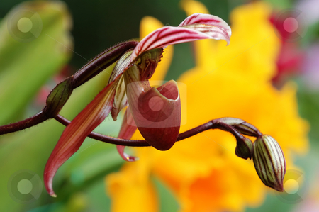 Pink lady slipper (orchid) stock photo, The orchis of spring, pink lady slipper by Tito Wong