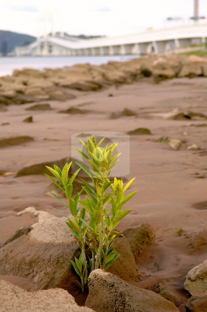Plant growing at beach stock photo, The close up picture of plant growing from shore rock with bridge as background by Tito Wong