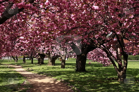 A row of cherry blossom trees stock photo, Cherry blossom trees at Mill River Park - Stamford, Connecticut by Anthony Dezenzio