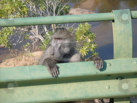 Baboon stock photo, A baboon in Africa by Pascal RATEAU
