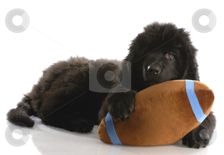 Sports hound stock photo, Newfoundland puppy playing with stuffed football - twelve weeks old by John McAllister
